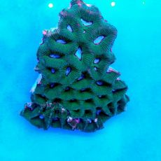 Brain Coral Pineapple (Favites spp.) Green White