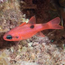 Peste Cardinal - Red - Apogon Pseudomaculatus