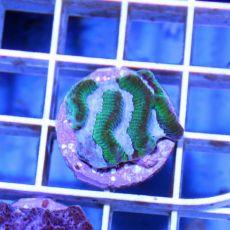 Brain Worm Maze Platygyra Coral (Platygyra sp.)