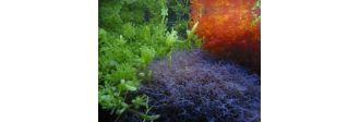 Macroalge - Tipuri si beneficii pentru acvariile marine