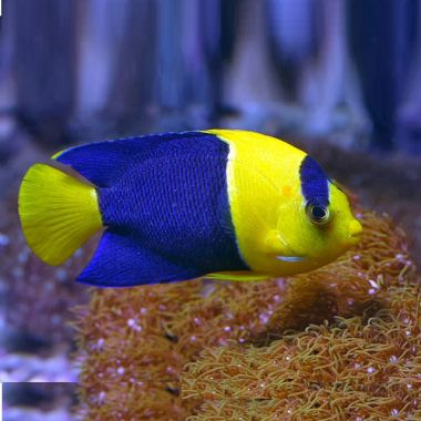 Bicolor Angelfish (Centropyge bicolor) M