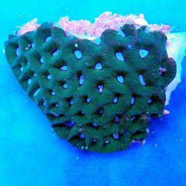 Brain Coral Pineapple Favites Spp Green White Coralfarmro