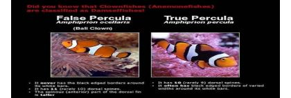 Ocellaris vs Percula Clownfish diferente